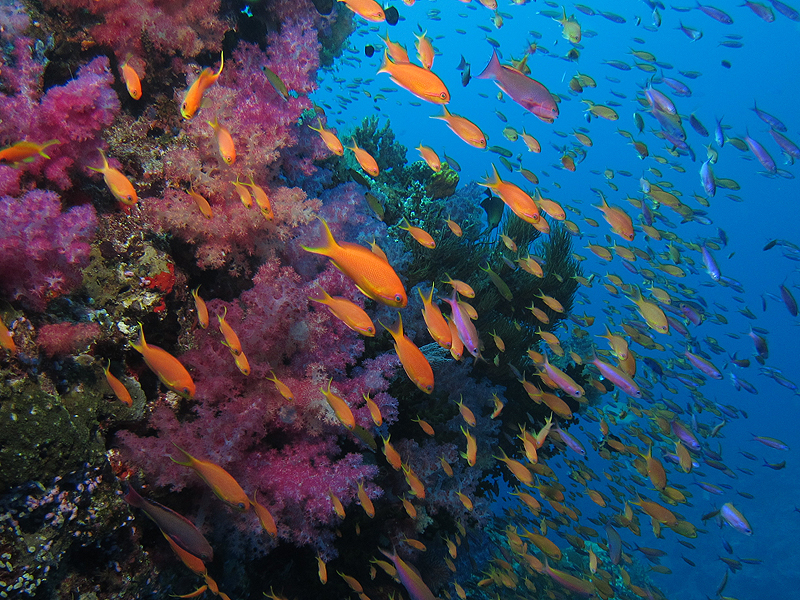 Anthias and soft corals